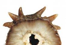 【白海参和黑海参哪个好】白海参的功效与作用 白海参好还是黑海参好